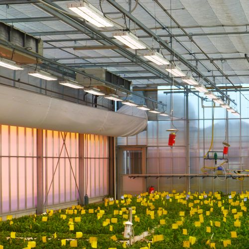 Greenhouse horticulture LED Lighting